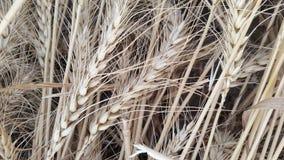 Campos de trigo na vila Foto de Stock Royalty Free