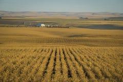 Campos de trigo prontos para a colheita, Washington State fotos de stock