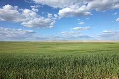Campos de trigo verdes fotos de stock