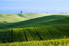 Campos de trigo verdes Imagem de Stock