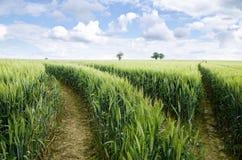 Campos de trigo verdes Fotografía de archivo