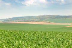 Campos de trigo verdes Foto de Stock Royalty Free