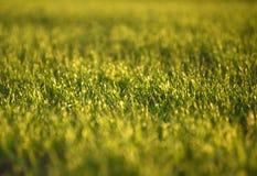 Campos de trigo verdes na mola grama verde fresca do trigo no sunl Fotos de Stock