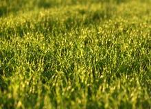 Campos de trigo verdes na mola grama verde fresca do trigo no sunl Imagens de Stock