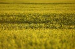 Campos de trigo verdes na mola grama verde fresca do trigo no sunl Fotografia de Stock Royalty Free