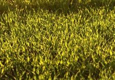 Campos de trigo verdes na mola grama verde fresca do trigo no sunl Imagem de Stock