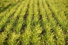 Campos de trigo verdes na mola grama verde fresca do trigo no sunl Foto de Stock
