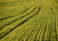 Campos de trigo verdes na mola grama verde fresca do trigo no sunl Foto de Stock Royalty Free