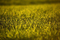 Campos de trigo verdes na mola grama verde fresca do trigo no sunl Imagem de Stock Royalty Free