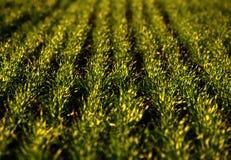 Campos de trigo verdes na mola grama verde fresca do trigo no sunl Imagens de Stock Royalty Free