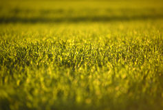 Campos de trigo verdes na mola grama verde fresca do trigo no sunl Fotografia de Stock