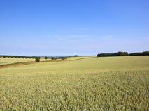 Campos de trigo verdes que amadurecem sob um céu azul do verão Foto de Stock Royalty Free