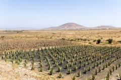 Campos del áloe en Fuerteventura Fotos de archivo
