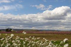 Campos del árbol de melocotón, en un día nublado y brillante imagenes de archivo