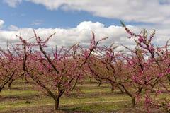 Campos del árbol de melocotón, en un día nublado y brillante fotografía de archivo libre de regalías