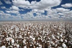 Campos del algodón Imágenes de archivo libres de regalías