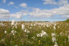 Campos del algodón Foto de archivo