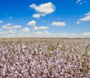 Campos del algodón y cielo azul Fotos de archivo