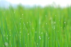 Campos del arroz Foto de archivo
