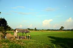 Campos del arroz. Fotos de archivo