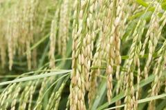 Campos del arroz Imagen de archivo