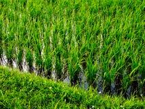 Campos del arroz Imagenes de archivo