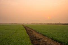 Campos del arroz. Imagen de archivo libre de regalías