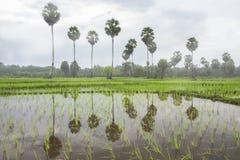 Campos del arroz Fotos de archivo libres de regalías