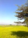 Campos del arroz Imágenes de archivo libres de regalías