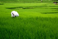Campos del arroz, Bali, Indonesia Imágenes de archivo libres de regalías
