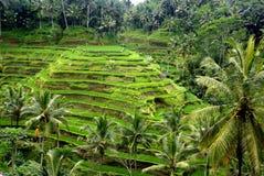 Campos del arroz, Bali, Indonesia Fotografía de archivo