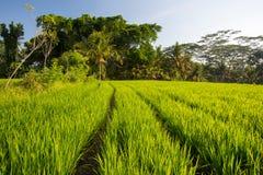 Campos del arroz cerca de Ubud en Indonesia Fotos de archivo libres de regalías