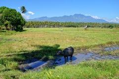 Campos del arroz con el búfalo de agua Imagen de archivo libre de regalías