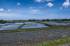 Campos del arroz de Beautifful Imagen de archivo libre de regalías