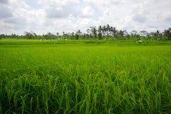 Campos del arroz de Beautifful en bali Fotografía de archivo
