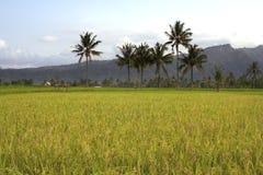 Campos del arroz de Beautifful en bali Fotos de archivo libres de regalías