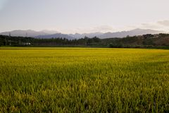 Campos del arroz de Corea Fotos de archivo libres de regalías