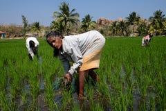 Campos del arroz de Hampi foto de archivo libre de regalías