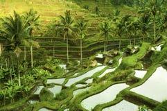 Campos del arroz de la terraza imagen de archivo libre de regalías