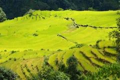 Campos del arroz de la terraza en Nepal Foto de archivo