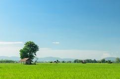Campos del arroz del jazmín Fotos de archivo libres de regalías