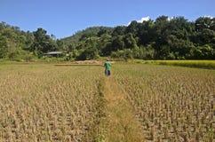 Campos del arroz después de la cosecha Fotos de archivo libres de regalías