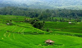 Campos del arroz en Bali-Indonesia imagen de archivo libre de regalías
