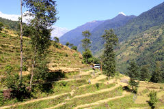 Campos del arroz en el valle de Annapurna Imagen de archivo libre de regalías