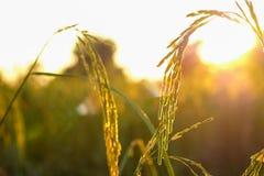 Campos del arroz en la puesta del sol Imagen de archivo libre de regalías