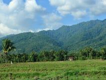 Campos del arroz en la regencia de SIGI, Indonesia foto de archivo libre de regalías
