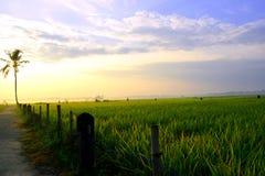 Campos del arroz en la salida del sol Imagenes de archivo