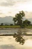 Campos del arroz en Tailandia imagen de archivo libre de regalías