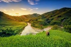 Campos del arroz en terraza imagen de archivo libre de regalías