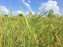 Campos del arroz en un fondo del cielo azul fotografía de archivo libre de regalías